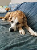 Slaperige Oude Hond Stock Afbeeldingen