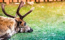 Slaperige polaire herten die op groen gras liggen Stock Foto's