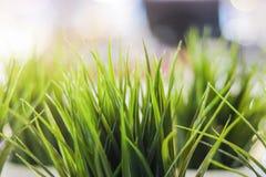 slapp fokus Dekorativt grönt gräs för närbild inomhus royaltyfri fotografi