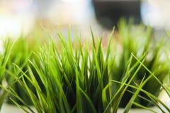 slapp fokus Dekorativt grönt gräs för närbild inomhus royaltyfri foto