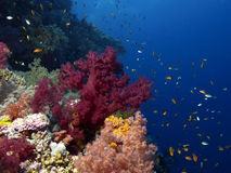 slapp korall Arkivfoto