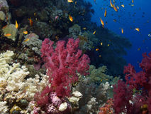 slapp korall Arkivfoton