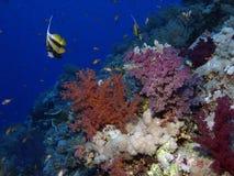 slapp korall Royaltyfria Bilder