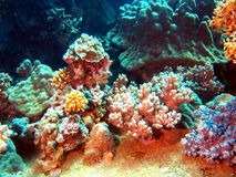 slapp korall Arkivbild