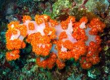 Slapp korall för Tree royaltyfria foton