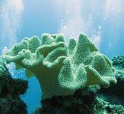 slapp korallsarcophyton Arkivfoto