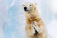 Slapping in the paws. Cheerful polar bear in the Zoo, slapping in the paws Royalty Free Stock Photos