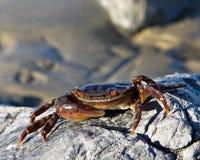 slappt krabbaskal Royaltyfri Fotografi