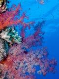 slappt rött hav för korall royaltyfria bilder
