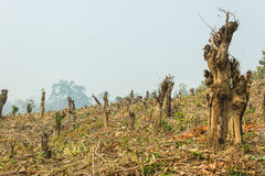 Slash and burn cultivation, rainforest cut and burned to plant Stock Photo