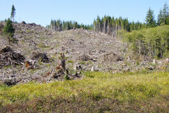 Slash piles and clear cut Douglas fir forest Royalty Free Stock Photo