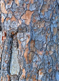 Slash Pine Bark. Detail of a Slash Pine tree trunk showing the peeling bark Royalty Free Stock Photo