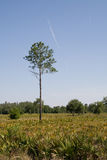Slash pine in clearing Royalty Free Stock Image