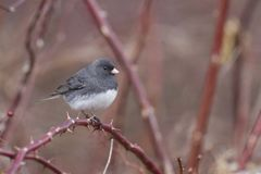 Slate-colored Black eyed Junco on a thorn bush stock images
