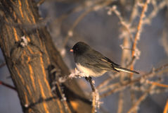 Slate Colored Junco Royalty Free Stock Photography