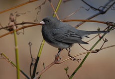 Slate Colored Junco Stock Images