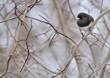 Slate-colored Junco Stock Image