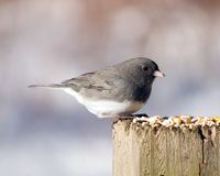 Slate-colored Junco Stock Images