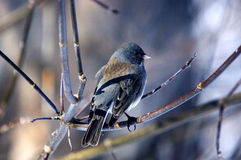 Slate Colored Junco Stock Photos