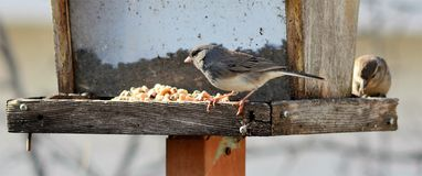 Slate-colored Junco Royalty Free Stock Photography