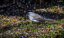 Slate Colored Junco on spring migration. Royalty Free Stock Image