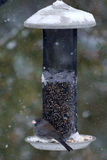 Slate-Coloured Junco on bird feeder Royalty Free Stock Photography