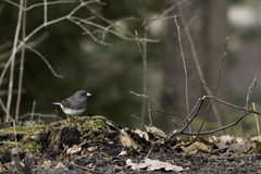 Slate-Coloured Junco in Spring Stock Photos