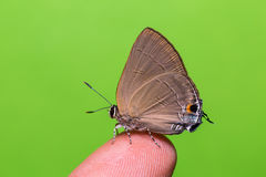 Slate Flash butterfly Royalty Free Stock Photography