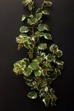 Plectranthus Stock Image