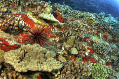 Slate Pencil Urchin on Coral Reef Royalty Free Stock Photos