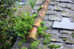 Slate roof full of vegetation for moisture Royalty Free Stock Photo