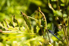 Slater Skimmer Dragonfly and Walking Stick Royalty Free Stock Images
