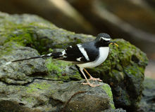 Slaty-backed forktail Royalty Free Stock Image