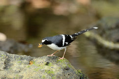 Slaty-backed forktail Stock Images