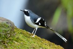 Slaty-backed forktail. Beautiful slaty-backed forktail Enicurus schistaceus in Thai forest stock image