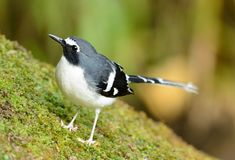 Slaty-backed forktail Royalty Free Stock Images