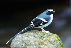 Slaty-backed forktail Stock Photos