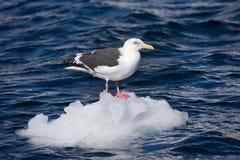 Slaty-backed Gull, Kamtsjatkameeuw, Larus schistisagus. Slaty-backed Gull adult perched on ice; Kamtsjatkameeuw volwassen zittend op het ijs stock photography