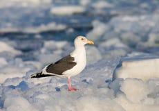 Slaty-backed Gull, Kamtsjatkameeuw, Larus schistisagus. Slaty-backed Gull adult perched on ice; Kamtsjatkameeuw volwassen zittend op het ijs stock images