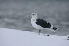 Slaty-backed gull, Larus schistisagus Royalty Free Stock Photo