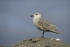 Slaty-backed gull, Larus schistisagus Stock Photos