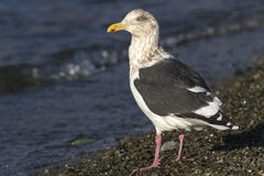 Slaty-backed Gull in winter plumage standing on the shore of the Stock Photos