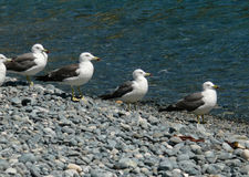 Slaty-backed Gulls 11 Stock Image
