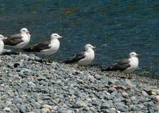Free Slaty-backed Gulls 11 Stock Image - 5491541