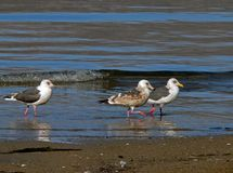 Slaty-backed Gulls 2 Royalty Free Stock Photos
