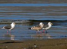 Free Slaty-backed Gulls 2 Royalty Free Stock Photos - 2395168