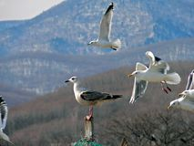 Slaty-backed Gulls Stock Image