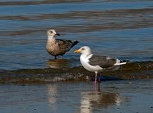 Slaty-backed Gulls Royalty Free Stock Photos