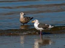 Slaty-backed Gulls Royalty Free Stock Photos