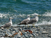 Slaty-backed Gulls 9 Stock Images